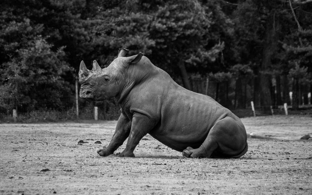 野生動植物走私者誆稱,犀牛角和其他野生動物製品可以治COVID-19。照片來源:Tomasz Baranowski(CC BY 2.0)