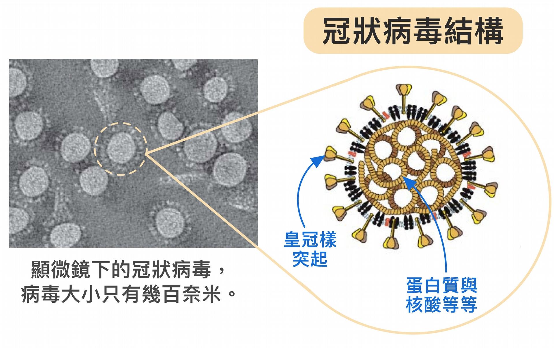 冠狀病毒體型不但非常微小,只有幾百奈米,外表為薄殼,具有特殊皇冠樣突起,內部中空,裝著密度高的蛋白質、基因等。病毒藉由宛如超迷你戰艦的構造,將蛋白質、核酸送入人體並綁架細胞。要是將病毒的成分全部拆解、變成單一的核酸或蛋白質等,威力不會這麼強大。 圖片來源│胡哲銘 圖說美化│林洵安