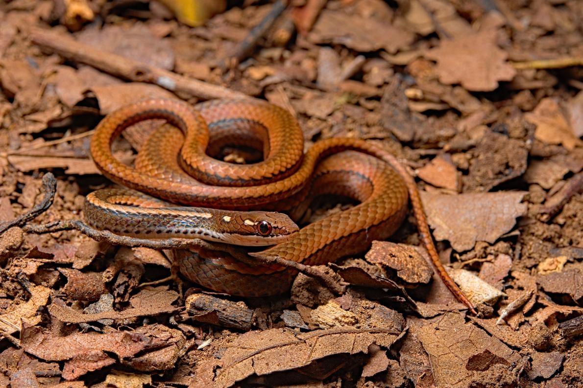 飾紋細蛇(Rhadinaea decorata)也受到蛙壺菌嚴重影響,在蛙壺菌擴散之前曾有過13次目擊記錄,之後就再也沒見過了。PHOTOGRAPH BY BIOSPHOTO, ALAMY