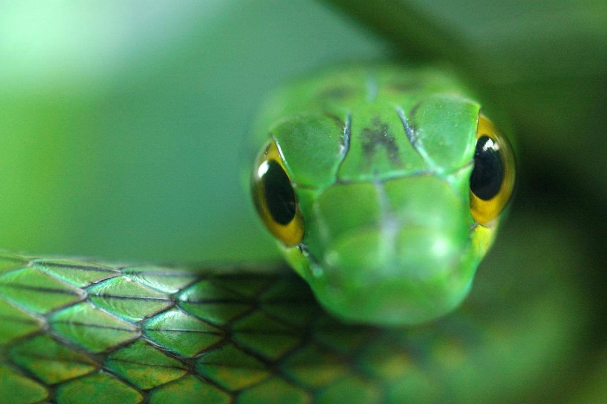 在蛙壺菌尚未擴散到這座巴拿馬國家公園前,這裡曾發現過七隻綠鸚鵡蛇(Leptophis depressirostris)。但如同「兩生類末日」一般,在此之後歷經了八年的深入調查,卻再不復見。PHOTOGRAPH BY EDWIN GIESBERS, MINDEN PICTURES