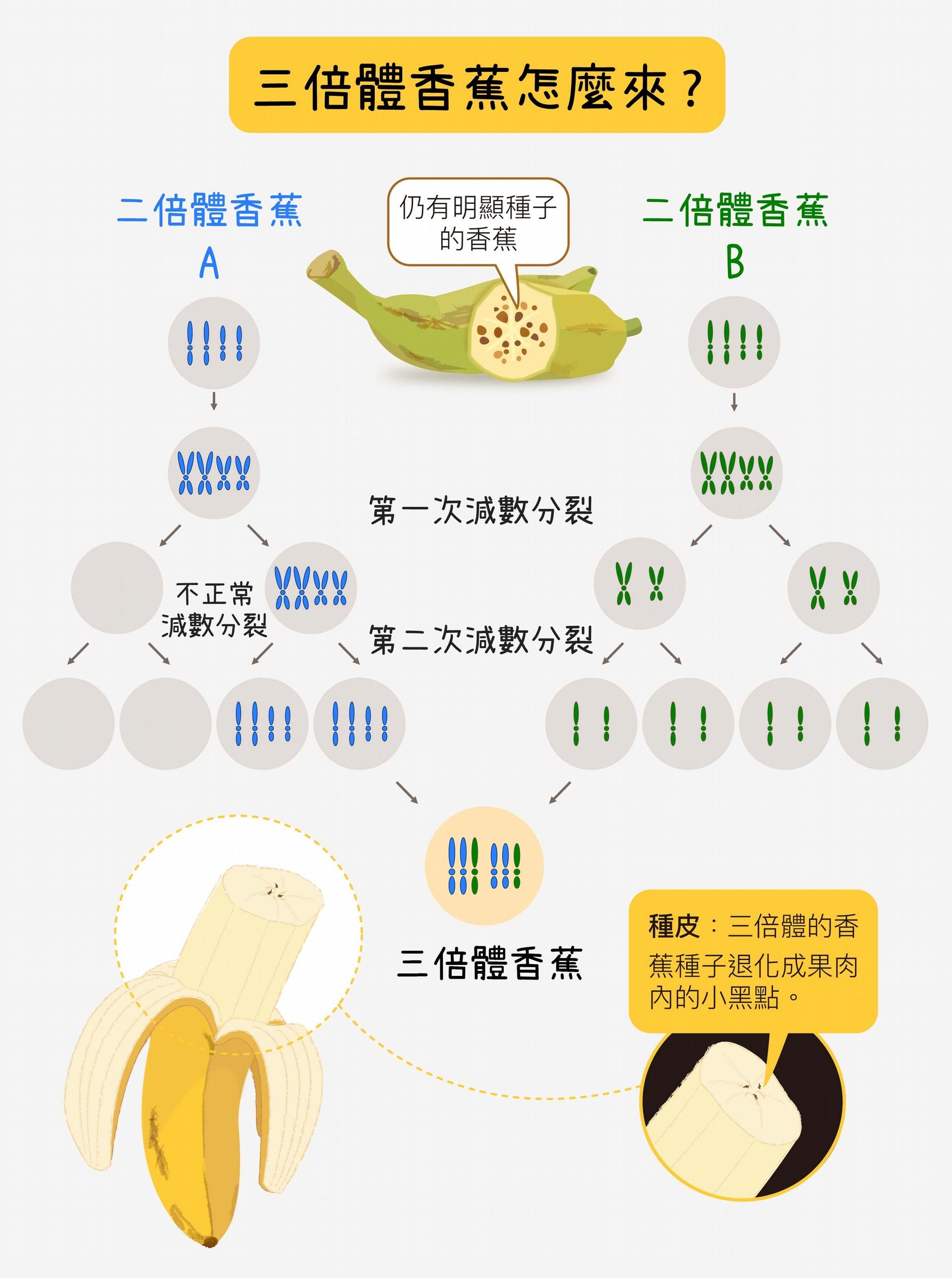 有些香蕉仍有明顯種子,它們是二倍體、四倍體,種子又黑又硬、大小如木瓜籽。三倍體的香蕉,則是二倍體和二倍體,或是二倍體和四倍體香蕉雜交而來,例如:一個二倍體親代提供一套、另一個二倍體親代提供兩套,結合成三倍。三倍體香蕉種子不能正常發育,只剩下種皮。 資料來源│ 蘇柏諺 (陳荷明實驗室) 圖說重製│林洵安