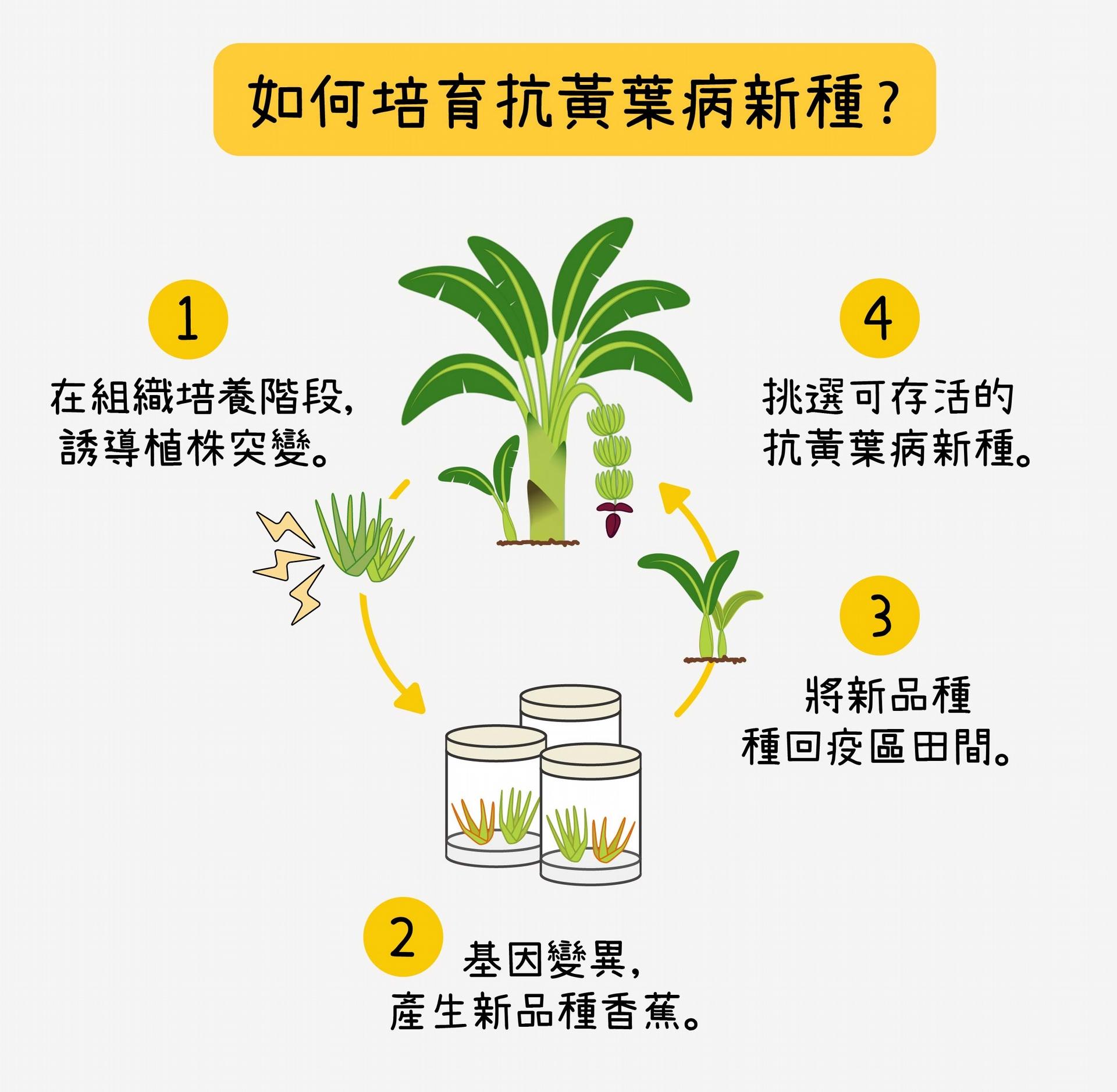 三倍體的華蕉,雖然會開花,但花無法受孕產⽣種⼦,因此必須以組織培養孕育新種。台灣香蕉研究所的研究員,在香蕉苗的組培階段,誘導植株突變,增加基因多樣性,再將香蕉苗種回疫區田間,挑選出存活的抗病栽培種,最終培育出可抗黃葉病的寶島蕉、台蕉五號、台蕉七號。 資料來源│蘇柏諺 (陳荷明實驗室) 圖說重製│林洵安