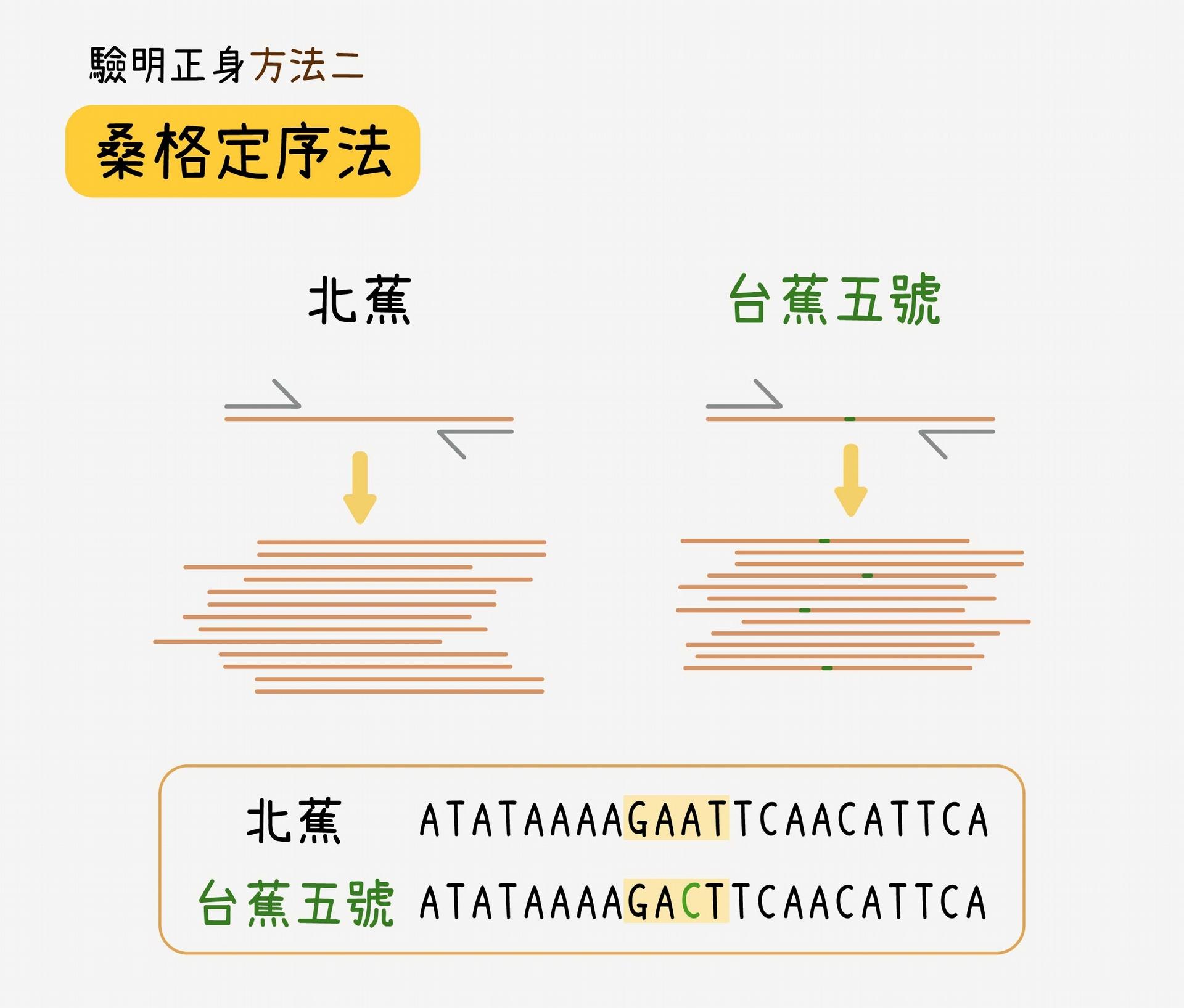 舉例來說,北蕉有一段序列是 GAAT,台蕉五號為 GACT,第三個鹼基的位置,在北蕉為 A,在台蕉五號則突變為 C,以此段序列作為鑑定台蕉五號的分子標誌。把未知品種該處的 DNA 片段拿去定序,測定出來的序列如果包含 GACT,就能知道該品種為台蕉五號。 資料來源│蘇柏諺 (陳荷明實驗室) 圖說重製│林洵安