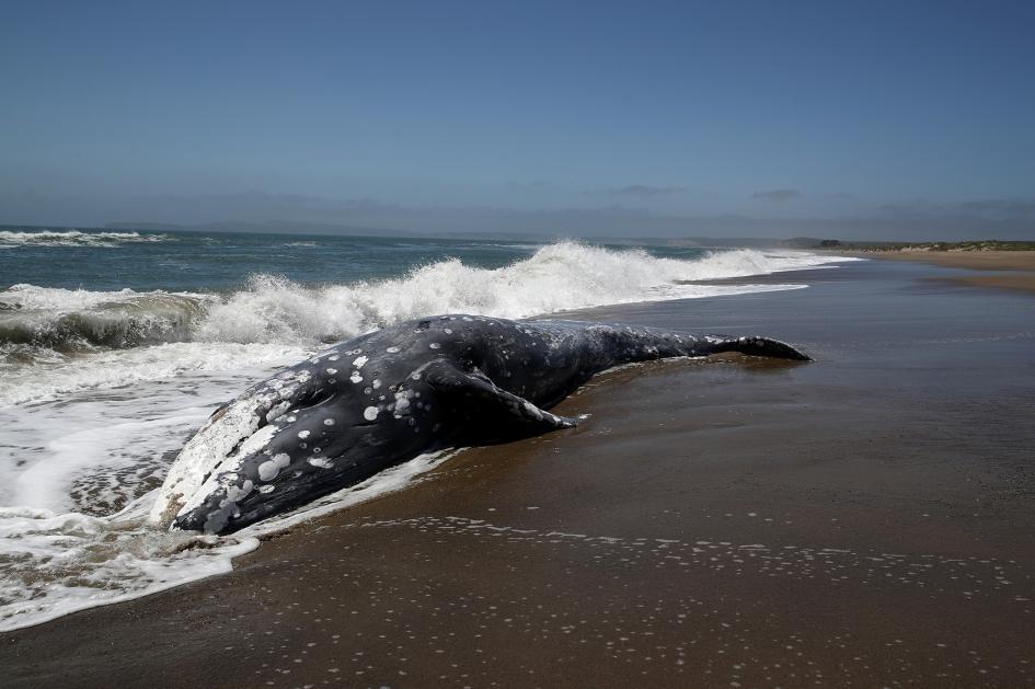 一頭灰鯨擱淺在加州的雷耶斯點站。最新研究顯示太陽風暴可能會讓這種動物暫時迷失方向。PHOTOGRAPH BY JUSTIN SULLIVAN, GETTY