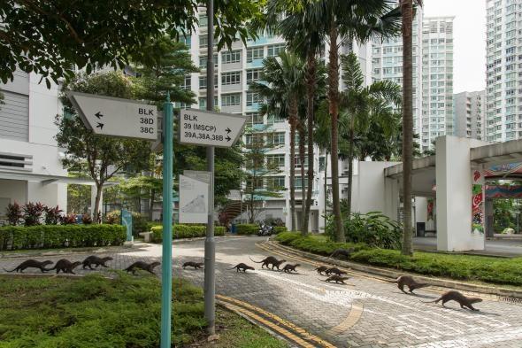 新加坡的水獺家族都擁有自己的名稱。照片中的「碧山家族」正在穿越市中心的馬路。PHOTOGRAPH BY STEFANO UNTERTHINER