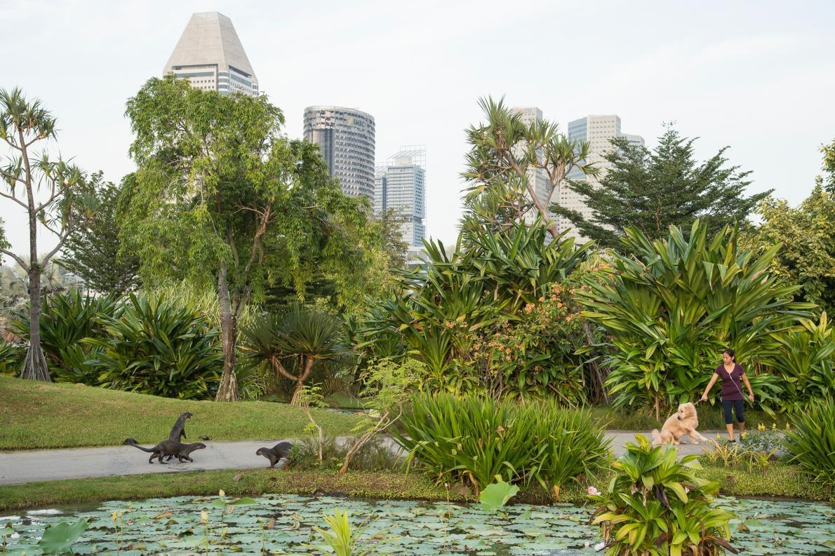 在濱海東花園,碧山家族水獺對狗兒起了反應。當地團隊正試圖將水獺、人類和寵物之間的負面互動降到最低。PHOTOGRAPH BY STEFANO UNTERTHINER