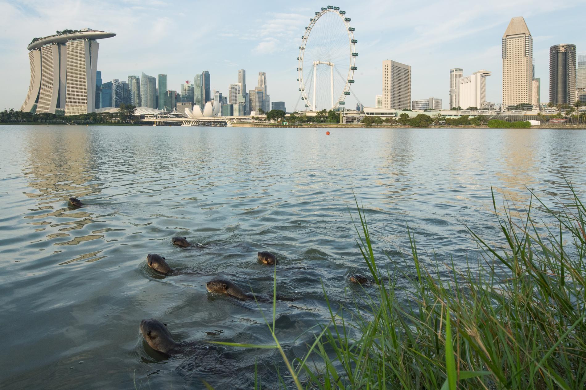碧山家族在濱海灣游泳,背景是標誌性的新加坡天際線。PHOTOGRAPH BY STEFANO UNTERTHINER