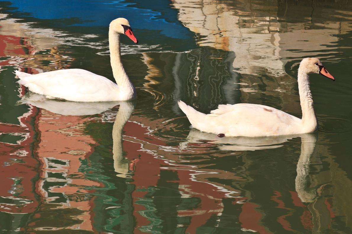 天鵝是布拉諾島運河的常客。PHOTOGRAPH BY DANITA DELIMONT, ALAMY