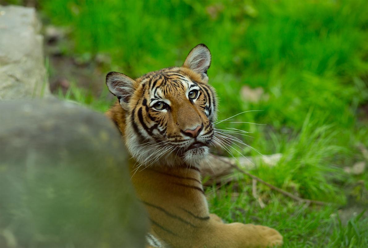 2017年攝於布朗克斯動物園的馬來亞虎。紐約布朗克斯動物園出現第一例被驗出COVID-19呈陽性反應的老虎,是園內的馬來亞虎「娜迪亞」。另外還有六隻大型貓科動物也出現了這種疾病的症狀。PHOTOGRAPH BY ANDREW LICHTENSTEIN, CORBIS VIA GETTY IMAGES