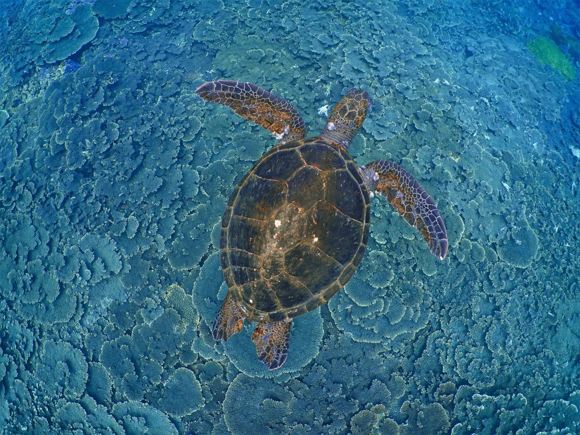 八丈島一隻身上長腫瘤的青年綠蠵龜 。攝影:蘇淮