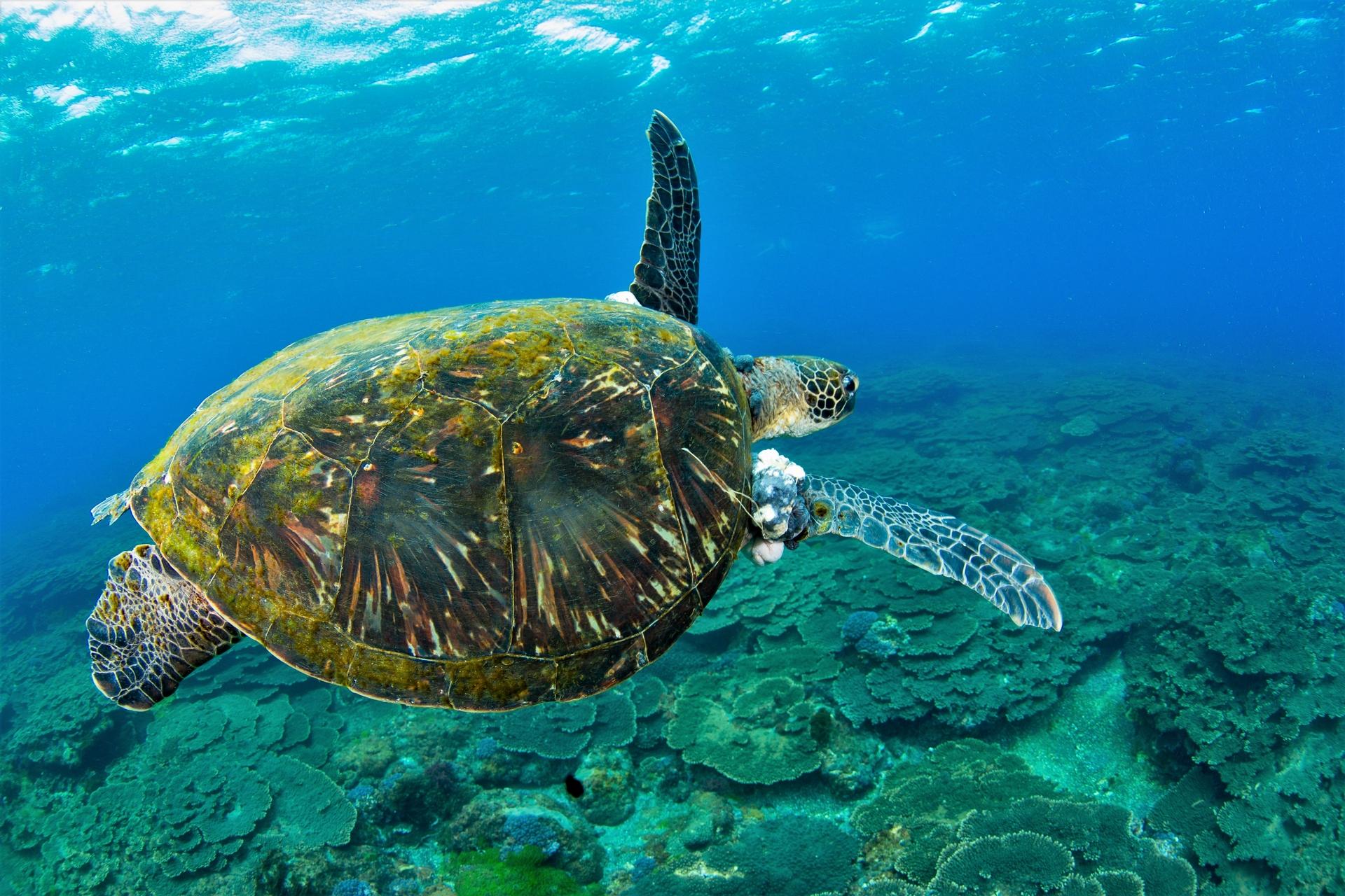 八丈島另一隻長腫瘤的青年綠蠵龜。攝影:蘇淮