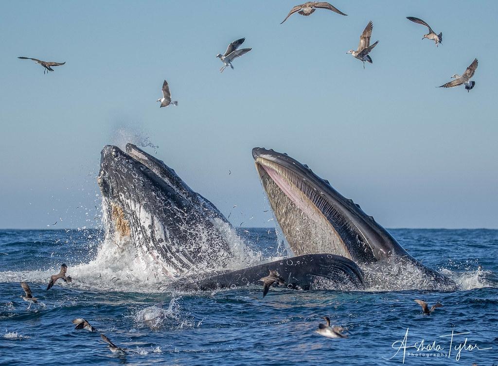 澳洲的座頭鯨、美國的海豹和日本的綠蠵龜等,多種海洋生物族群出現恢復跡象。照片來源:ashala Tylor(CC BY-NC 2.0)