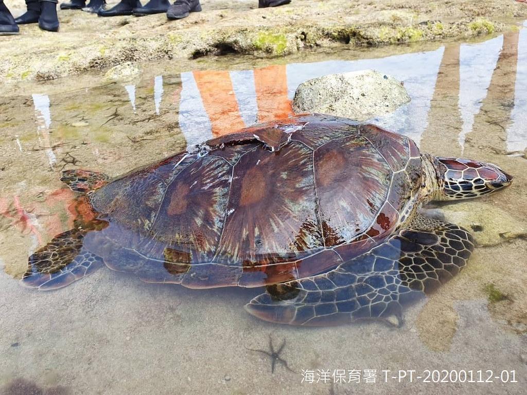 屏東小琉球背甲有螺旋槳傷痕的綠蠵龜。圖片提供:海保署。