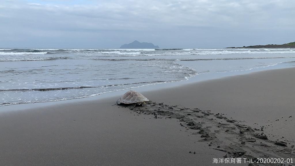 宜蘭活體通報綠蠵龜於醫療照護後野放。圖片提供:海保署。