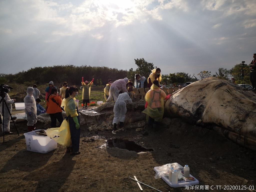 臺東長濱死亡擱淺藍鯨進行解剖工作。圖片提供:海保署。