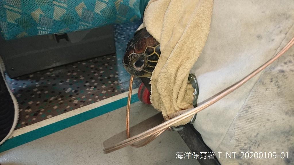 新北市活體通報綠蠵龜搭乘高鐵前往海生館進行後續醫療照護。新北市政府提供。