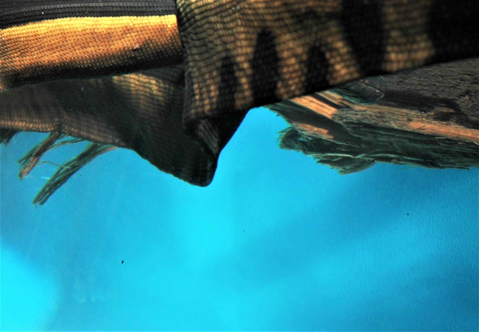 腹部鱗片縮小讓海蛇的身體更容易變扁。攝影:杜銘章