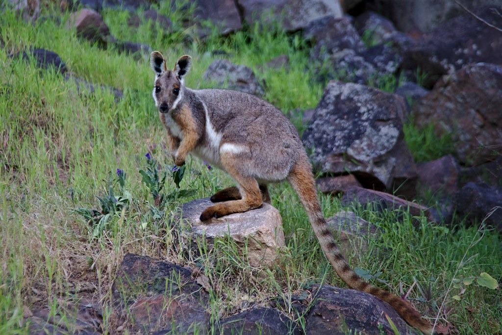 研究發現,在澳洲有明確保育管理措施的地區,哺乳動物族群量增加了46%。圖為黃足岩袋鼠。照片來源:維基百科(CC BY-SA 4.0)