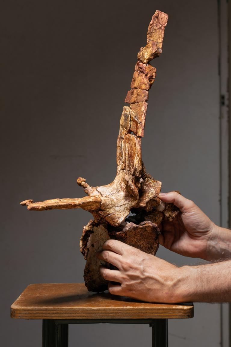 古生物學家克里斯蒂亞諾.達沙索小心翼翼地持著從棘龍尾巴基部數來第四節的尾椎,這是研究團隊復原出最完整的椎骨之一。PHOTOGRAPH BY PAOLO VERZONE, NATIONAL GEOGRAPHIC