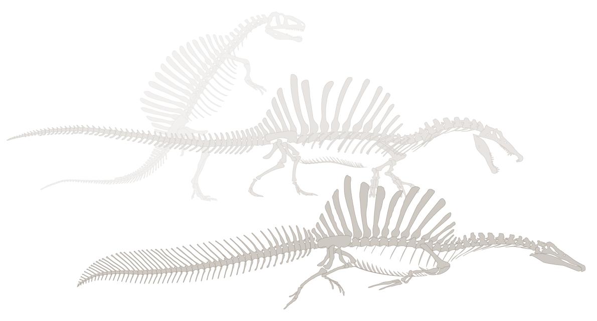 斯特莫於1930年代試圖重建棘龍的時候,他以其他獸腳類類恐龍來填補細節並且賦予牠現在已經過時的站姿。自2014年起,由尼札.伊布拉希姆帶領的團隊論證棘龍是一種半水棲掠食者,而新發現的尾巴強化了這一論述。JASON TREAT, NG STAFF; MESA SCHUMACHER