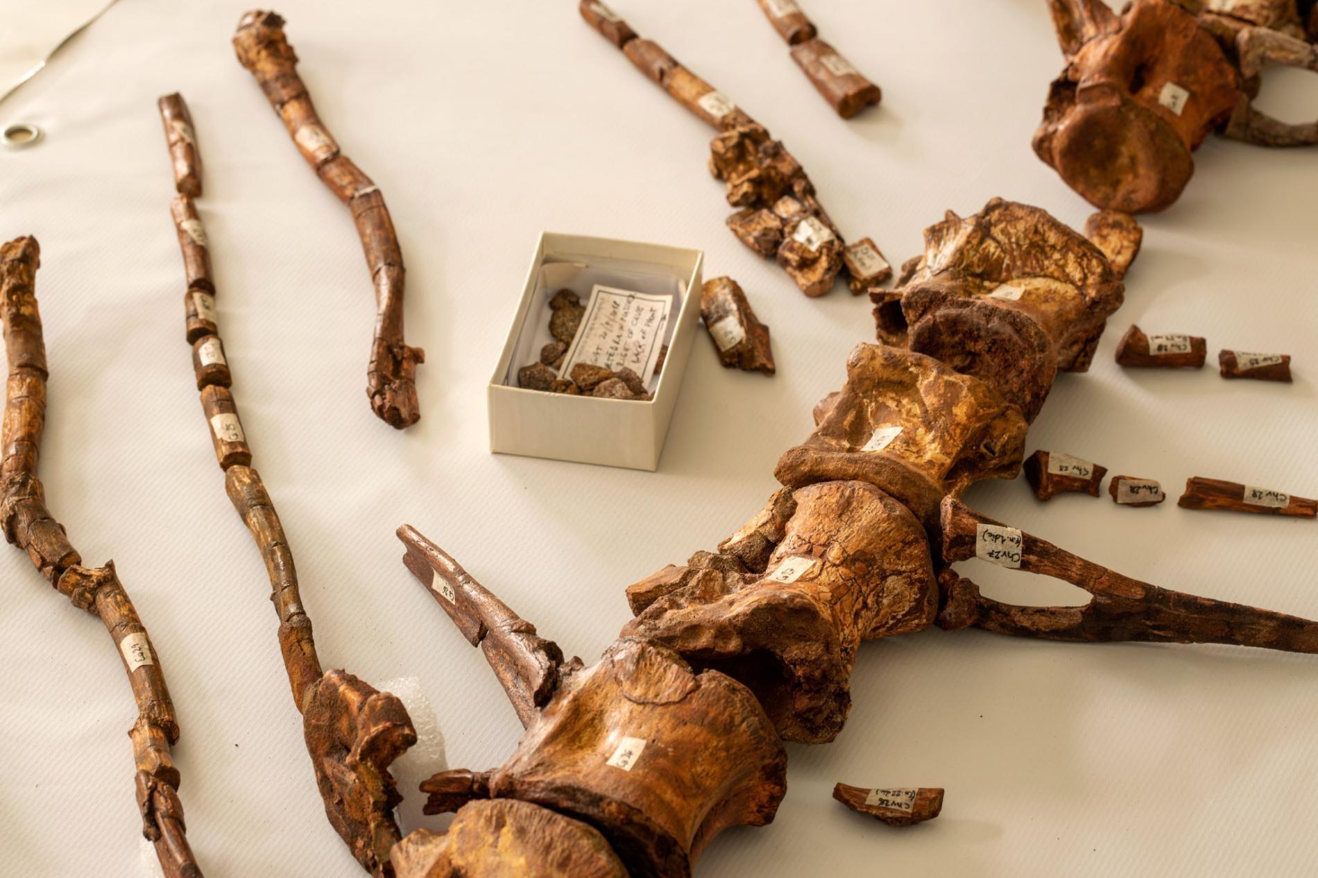 棘龍的尾椎突出長長的脊骨。棘龍還在世的時候,這些凸出物增加了牠的尾巴表面積並且形塑出尾部似槳的形狀。PHOTOGRAPH BY PAOLO VERZONE, NATIONAL GEOGRAPHIC