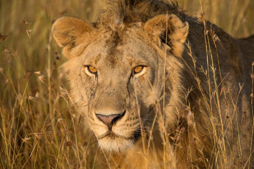 在坦尚尼亞的晨輝下,一頭非洲獅穿過高高的草叢。PHOTOGRAPH BY MELISSA GROO, NAT GEO IMAGE COLLECTION