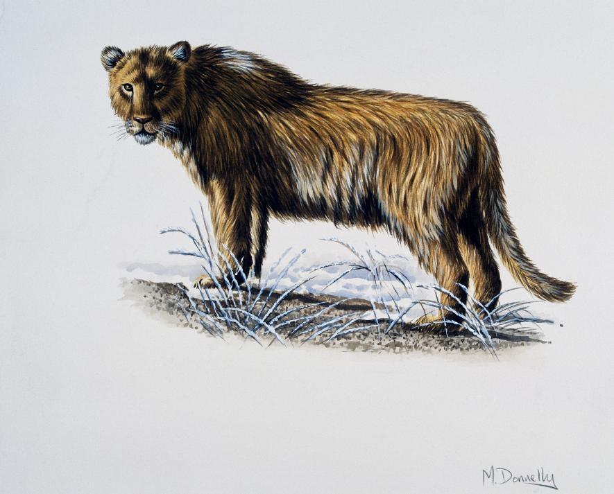 已滅絕的穴獅可能沒有鬃毛,也許這正是非洲獅對牠們興趣缺缺的原因。PHOTOGRAPH BY DEAGOSTINI, GETTY/ARTWORK BY MIKE DONNELLY