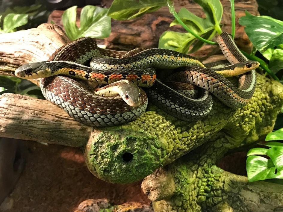 東部襪帶蛇會聚在一起,這是一種保持溫暖及防禦掠食者的策略。PHOTOGRAPH BY TOM GANTERT