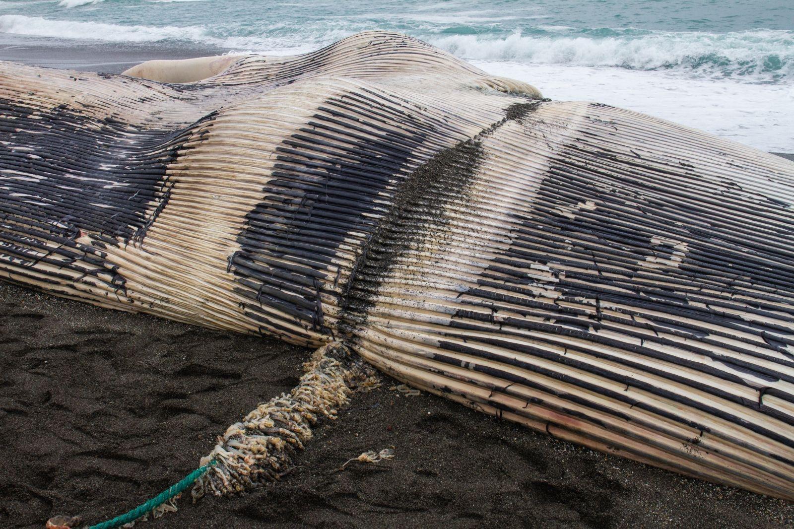 團隊決定先將纏繞藍鯨嘴部的繩索切斷。