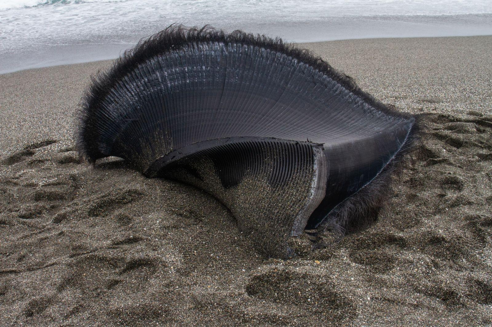 散落在海岸上的鯨鬚板(baleen plates),是鬚鯨濾食的構造。