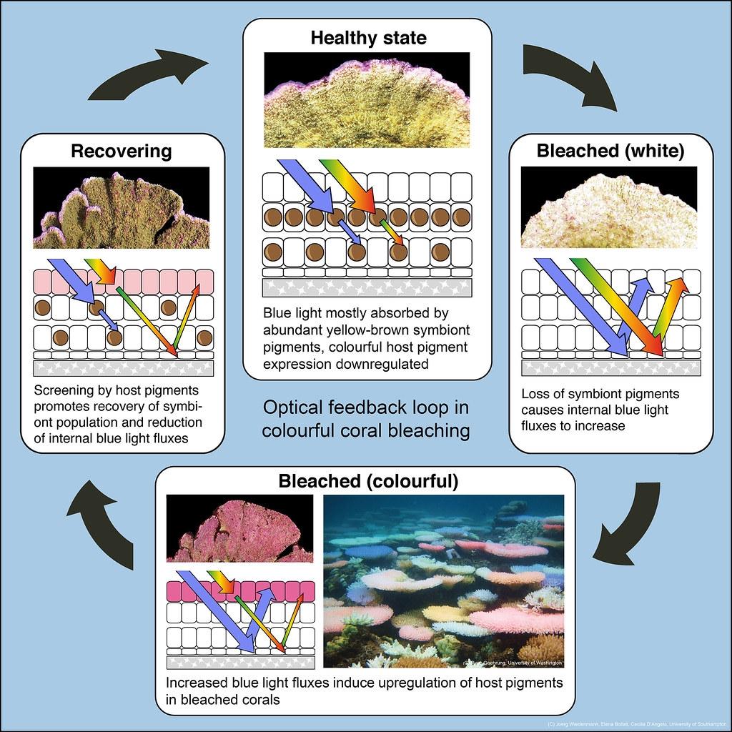 珊瑚白化、發出螢光、恢復健康的過程。照片來源:Ryan Goehrung推特