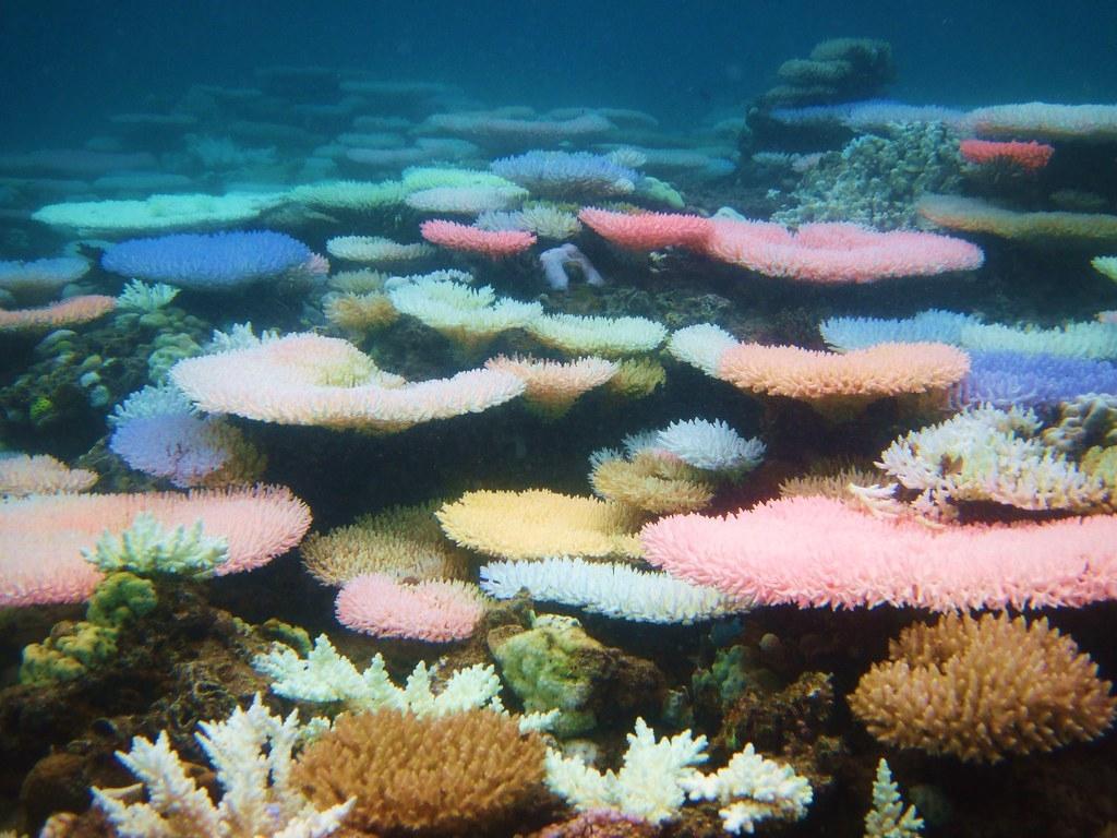 發出螢光色的珊瑚,攝於菲律賓。照片來源:Ryan Goehrung推特