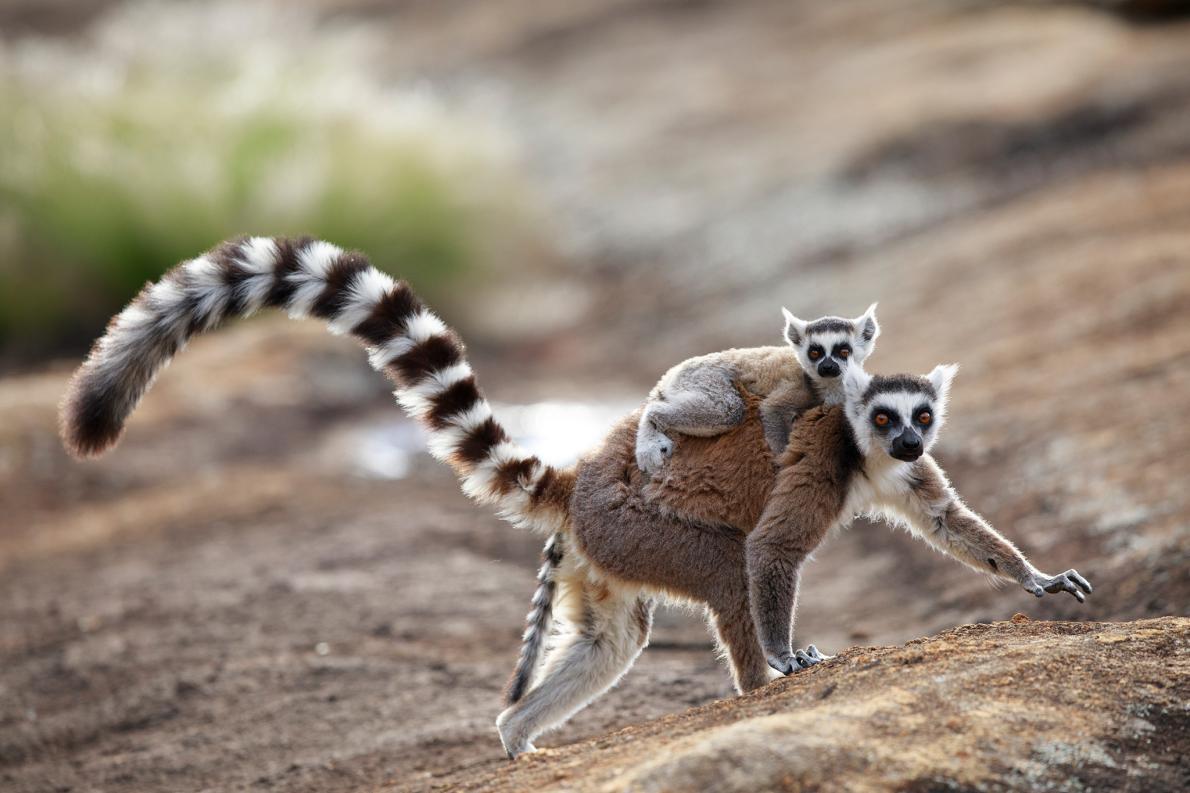 雄性環尾狐猴會向雌性狐猴傳送一種迷人的氣味,這就是所謂的「臭味調情」。(圖片中為馬達加斯加安澤國家公園裡的狐猴媽媽和嬰兒)PHOTOGRAPH BY CYRIL RUOSO, MINDEN PICTURES