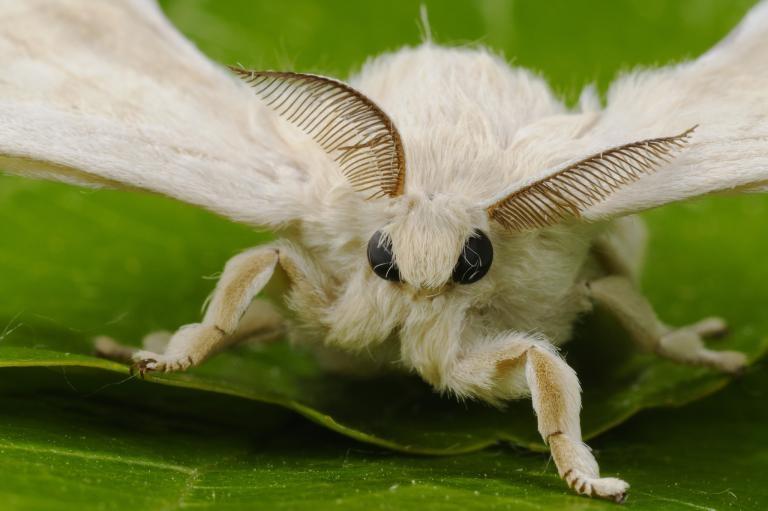 雄蠶蛾觸角上的接收器能夠接收雌蠶蛾的費洛蒙。PHOTOGRAPH BY FABIO PUPIN, MINDEN PICTURES