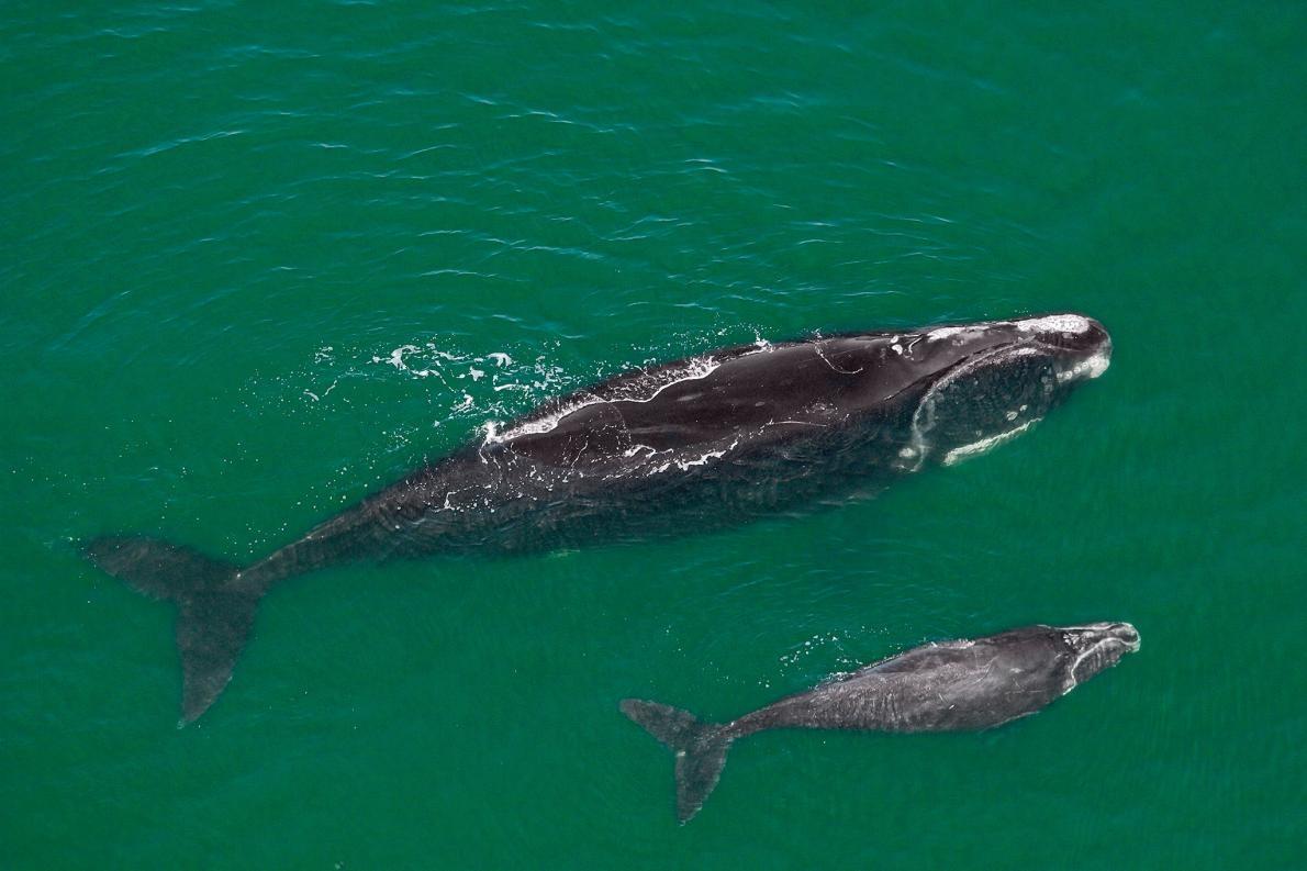 一頭雌性北大西洋露脊鯨和牠剛生下的幼鯨,在佛羅里達州外海泅泳。目前北大西洋露脊鯨在全球大約僅剩400頭。PHOTOGRAPH BY BRIAN J. SKERRY, NAT GEO IMAGE COLLECTIO