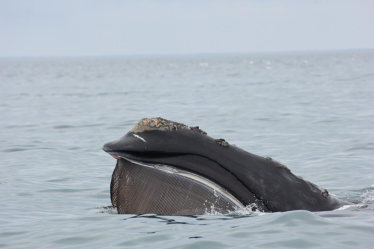 在麻薩諸塞州鱈魚角(Cape Cod)附近,浮出海面的北大西洋露脊鯨。 PHOTOGRAPH BY BRIAN J. SKERRY, NAT GEO IMAGE COLLECTION