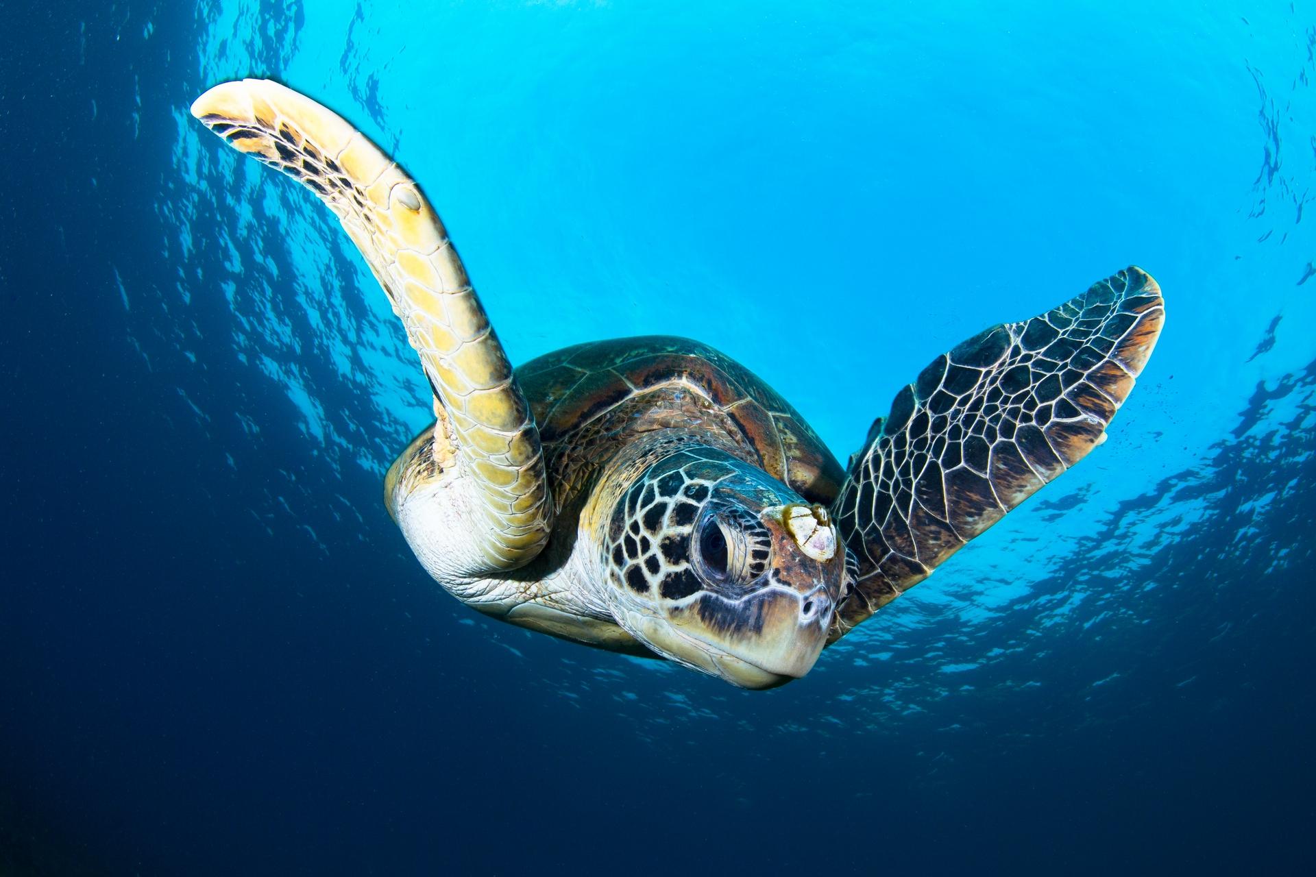 小琉球的海龜明星──「藤壺姐」。攝影:蘇淮