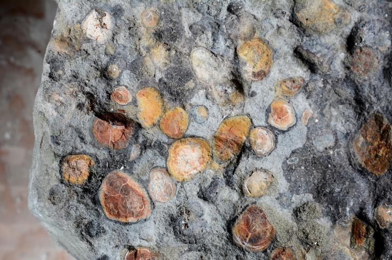 北方盾龍腹中的內容物包含這隻恐龍為了協助分解食物而吞下的石塊。 ROYAL TYRRELL MUSEUM OF PALAEONTOLOGY.