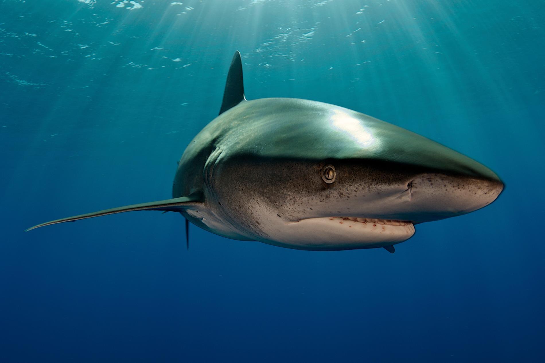 一條遠洋白鰭鯊(並非文中與烏賊相遇的那條)在巴哈馬的水域悠游。白鰭鯊通常在淺水域狩獵,讓這次的發現更引人入勝。PHOTOGRAPH BY BRIAN J. SKERRY, NAT GEO IMAGE COLLECTION