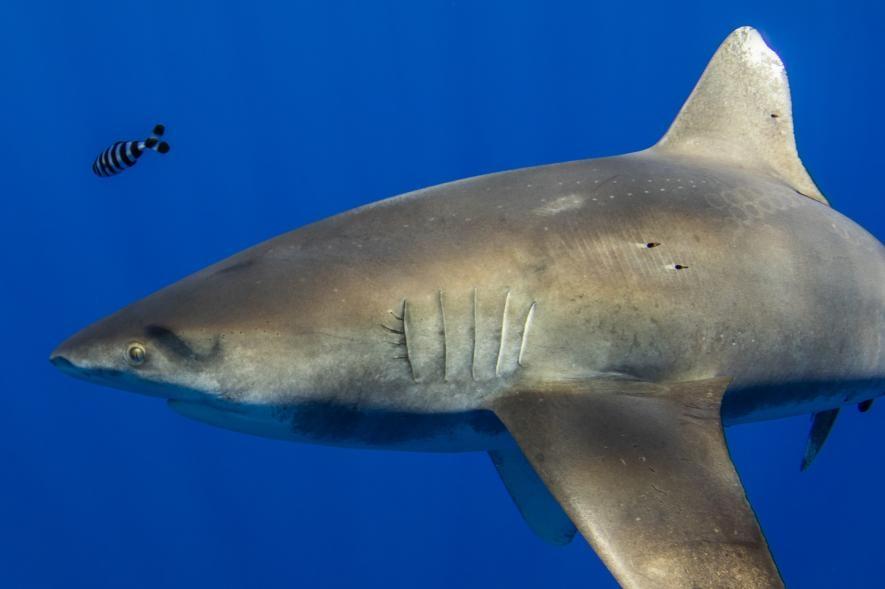 一條 2.1 公尺長的遠洋白鰭鯊身上帶有高爾夫球大小的吸盤痕跡,很有可能是一隻烏賊的觸手所留下的。有多種大型烏賊居住在太平洋深海處,包括巨烏賊。PHOTOGRAPH BY DERON VERBECK