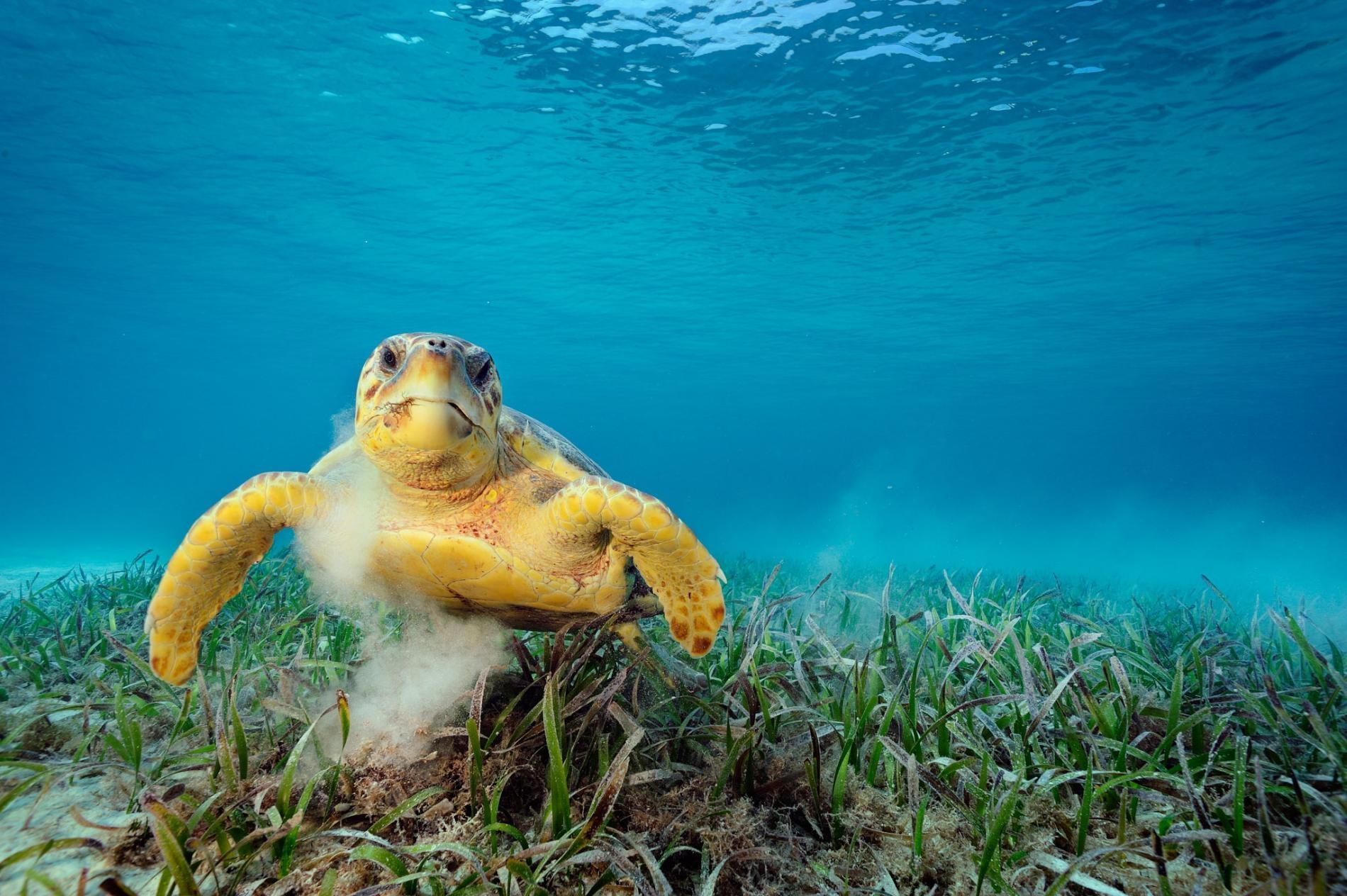一隻赤蠵龜在吃海草。這種動物會攪起海床泥沙,能將數萬隻搭便車的微小動物載到自己身上,例如線蟲、甲殼類、水螅。PHOTOGRAPH BY BRIAN SKERRY, NAT GEO IMAGE COLLECTION
