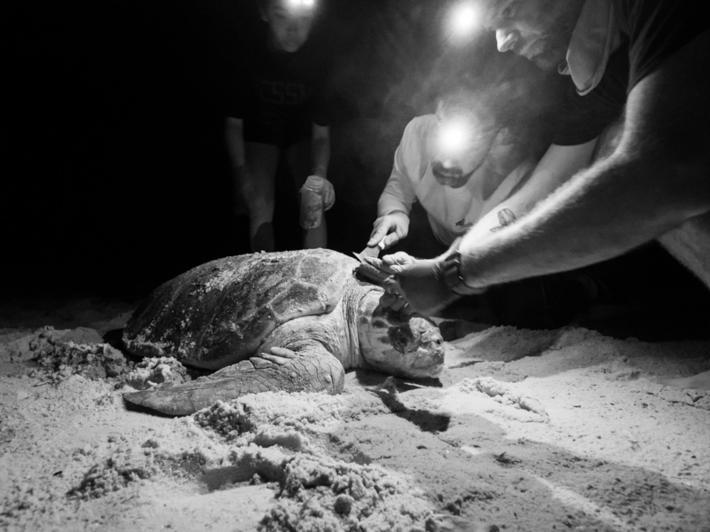 研究人員從一隻赤蠵龜龜殼上採集為小動物。這張照片攝於研究活動期間,該研究獲得佛羅里達州魚類與野生動物保育委員會的許可,前提是不能傷害赤蠵龜──正常情況下,搬動或觸摸海龜是違法的。這張照片是在紅光下拍攝──這對動物的傷害較小──並於後製處理時轉為黑白。PHOTOGRAPH BY DR. MATTHEW WARE
