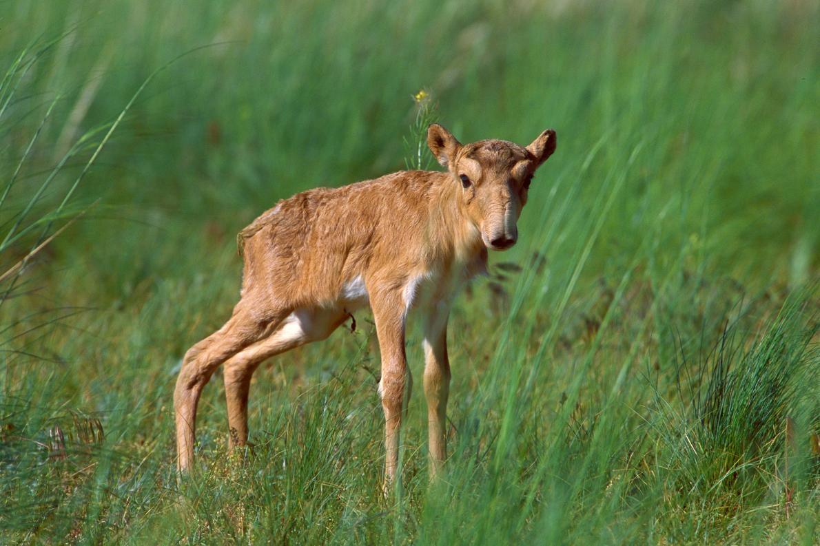 高鼻羚羊(照片為一隻在俄國的小羊)在東歐與中亞多數地區的貧草原上四處漫步。PHOTOGRAPH BY IGOR SHPILENOK, NPL/MINDEN PICTURES