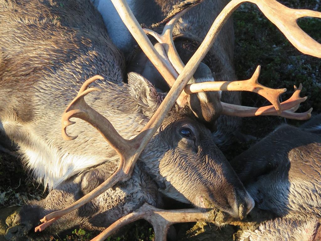 科學家們在海拔1220公尺的哈當厄爾高原上設置自動攝影機,觀察野生動物湧向這些高原上的屍體。照片來源:Havard Kjontvedt/挪威自然檢查局