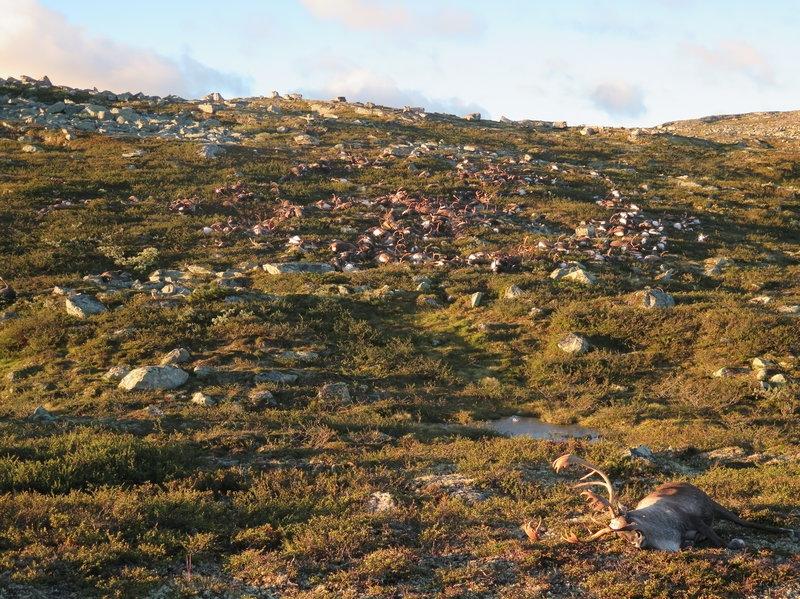 2016年8月在挪威偏遠的哈當厄爾維達高原上,一位公園巡守員發現323具野生馴鹿的屍體。照片來源:Havard Kjontvedt/挪威自然檢查局