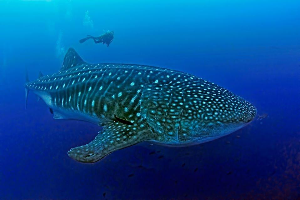 鯨鯊是海洋中最大的魚類。 照片來源:加拉巴哥鯨鯊計畫臉書