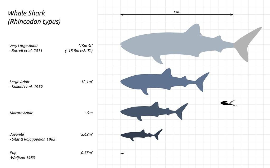 鯨鯊可由數十公分長到十數公尺。照片來源:維基百科/Steveoc 86 (CC BY-SA 4.0)