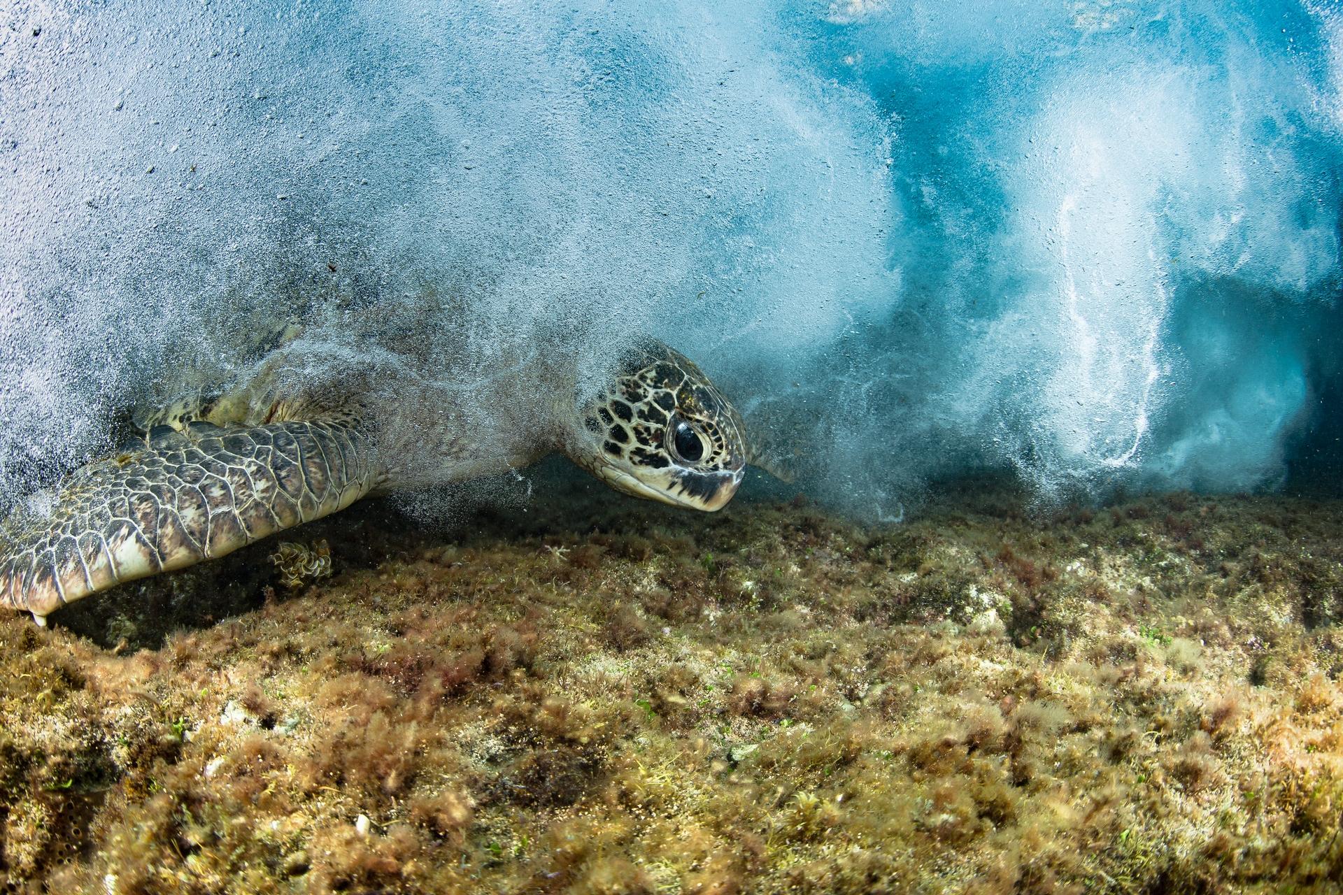 R36192對覓食地極度忠誠,就連起了大浪也繼續在覓食。攝影:蘇淮