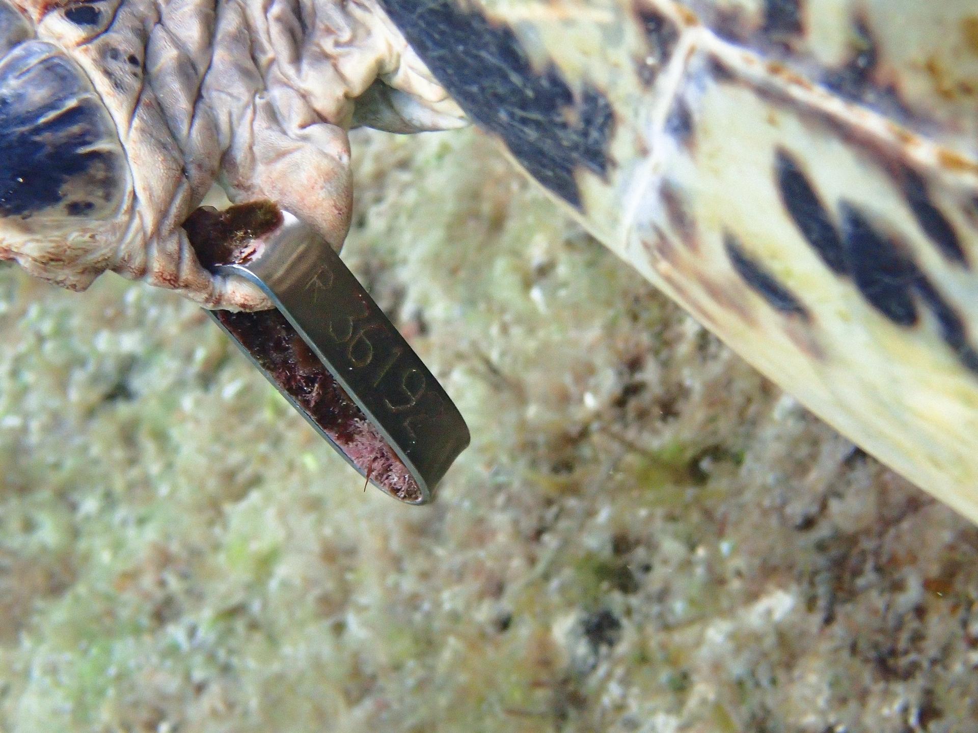 左前肢金屬標籤上的號碼「R36192」。攝影:蘇淮