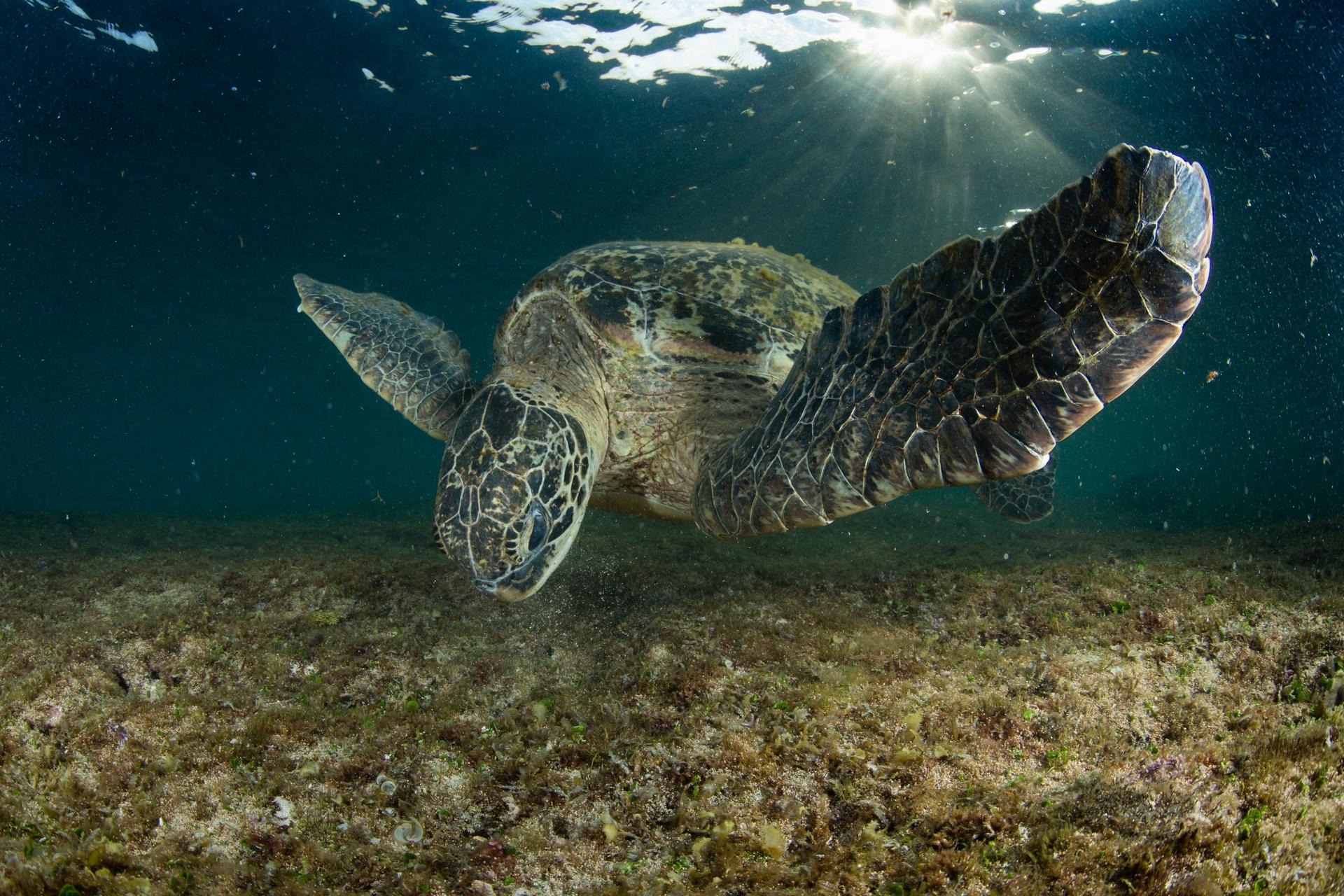 正在啃食淺礁區海藻的R36192。攝影:蘇淮